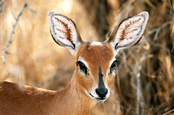 Antilopa Steenbok